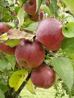 Apple-picking-08-02
