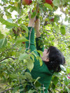 Apple_picking07_2