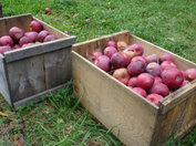 Apple_picking11_1